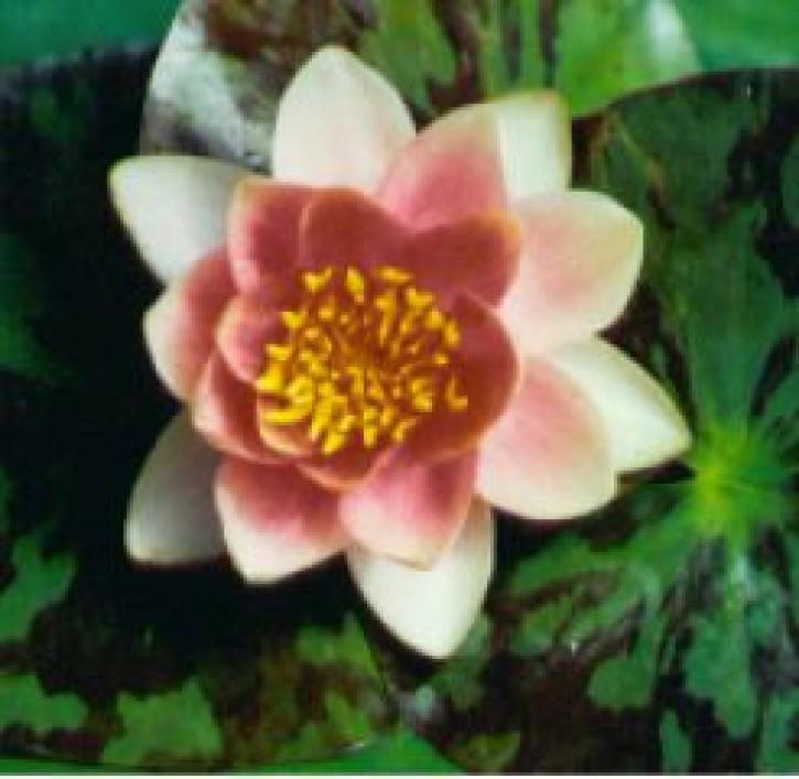 Zwergseerose Chrysantha