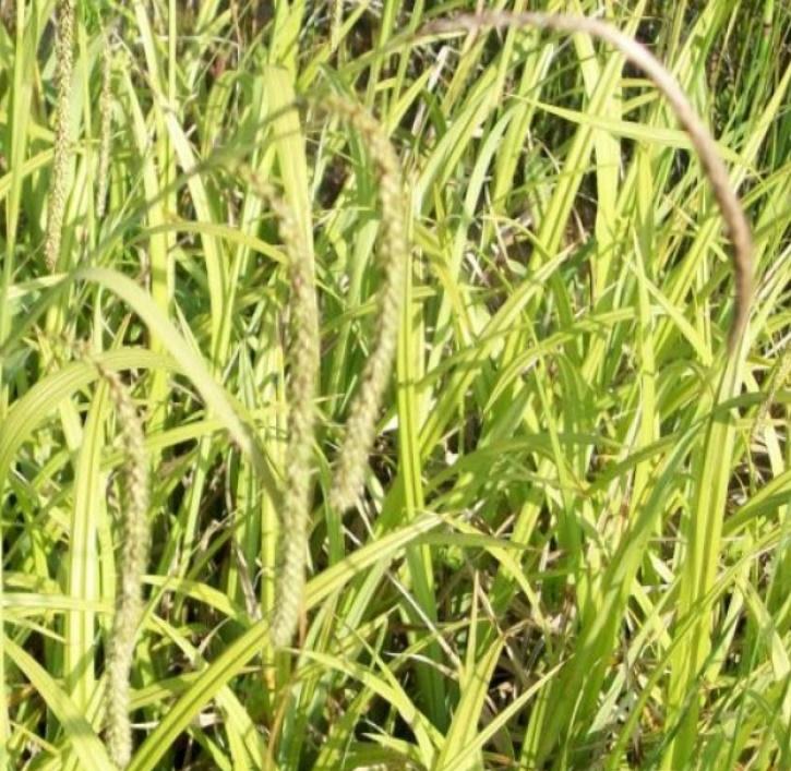 Hängende Segge (lat. Carex pendula)