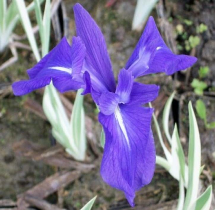 Iris gestreift blau (lat. Iris laevigata Variegata)