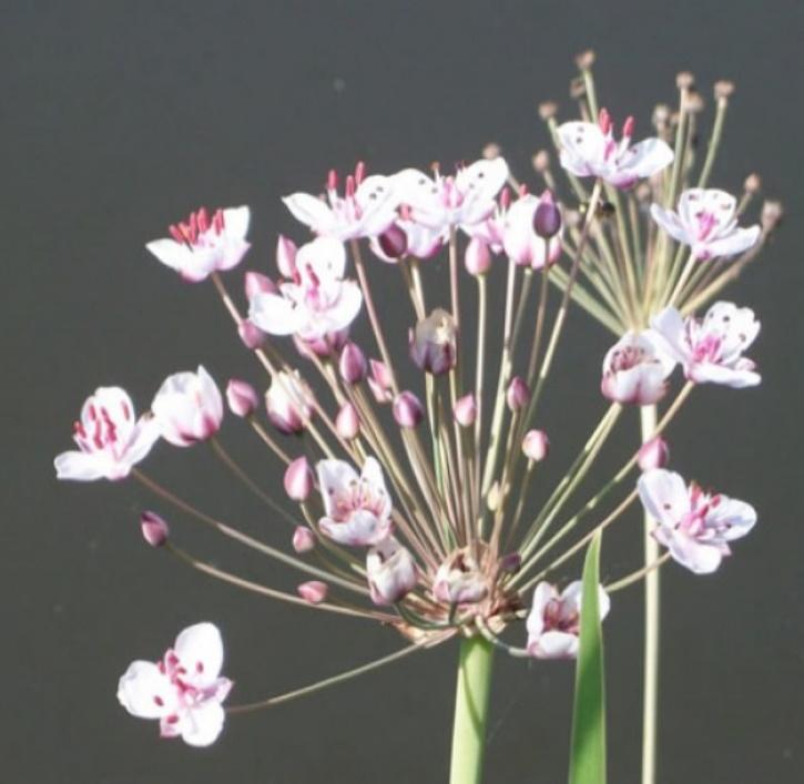 Blumenbinse (lat. Butomus umbellatus)