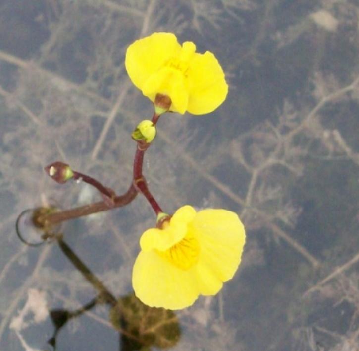 Wasserschlauch (lat. Utricularia vulgaris)