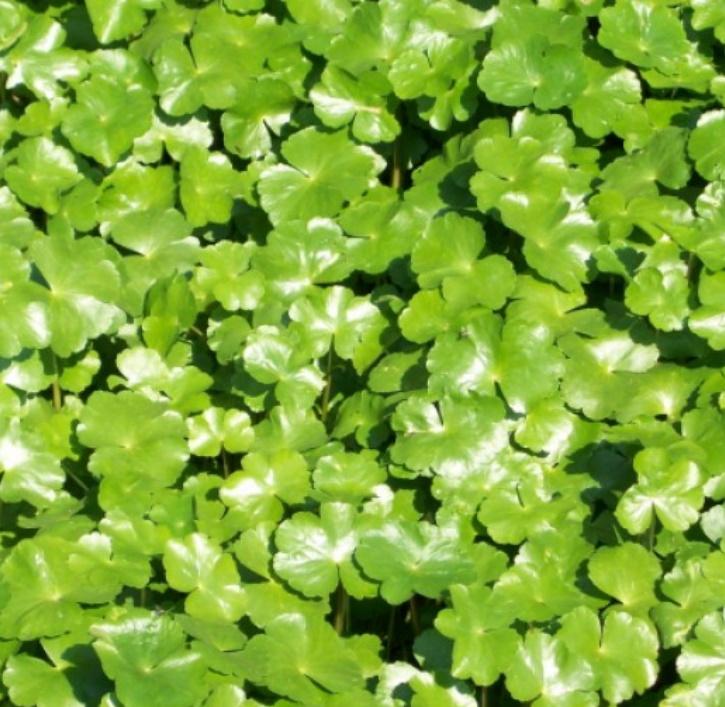 Wassernabel (lat. Hydrocotyle vulgaris)