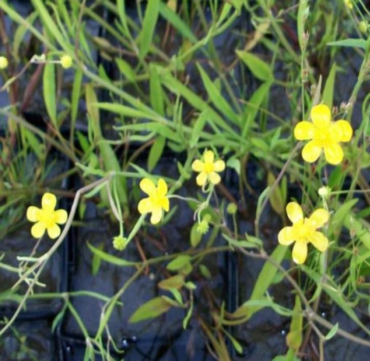 Brennender Hahnenfuß (lat. Ranunculus flammula)