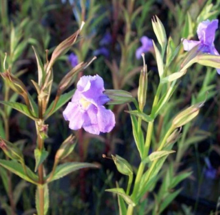 Gauklerblume blau (lat. Mimulus ringens)