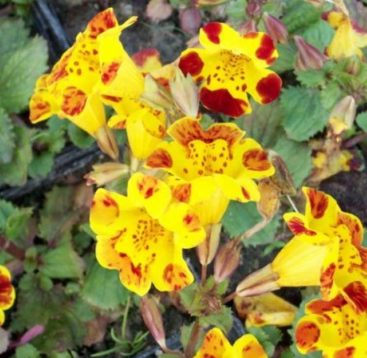 Gauklerblume bunt (lat. Mimulus H. Tigrinus Gandifl.)