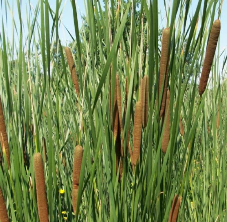 Rohrkolben schmalblättrig (lat. Typha angustifolia)