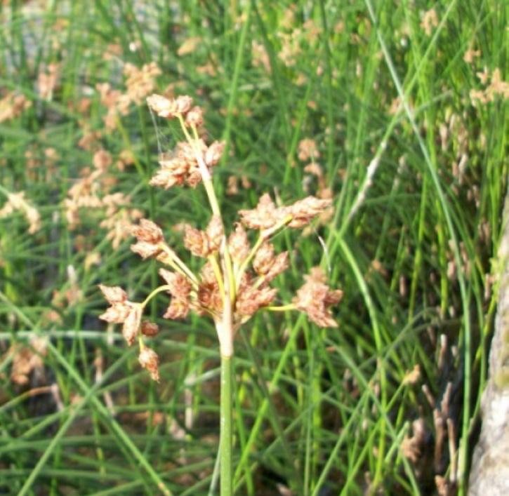 Seesimse (lat. Scirpus lacustris)
